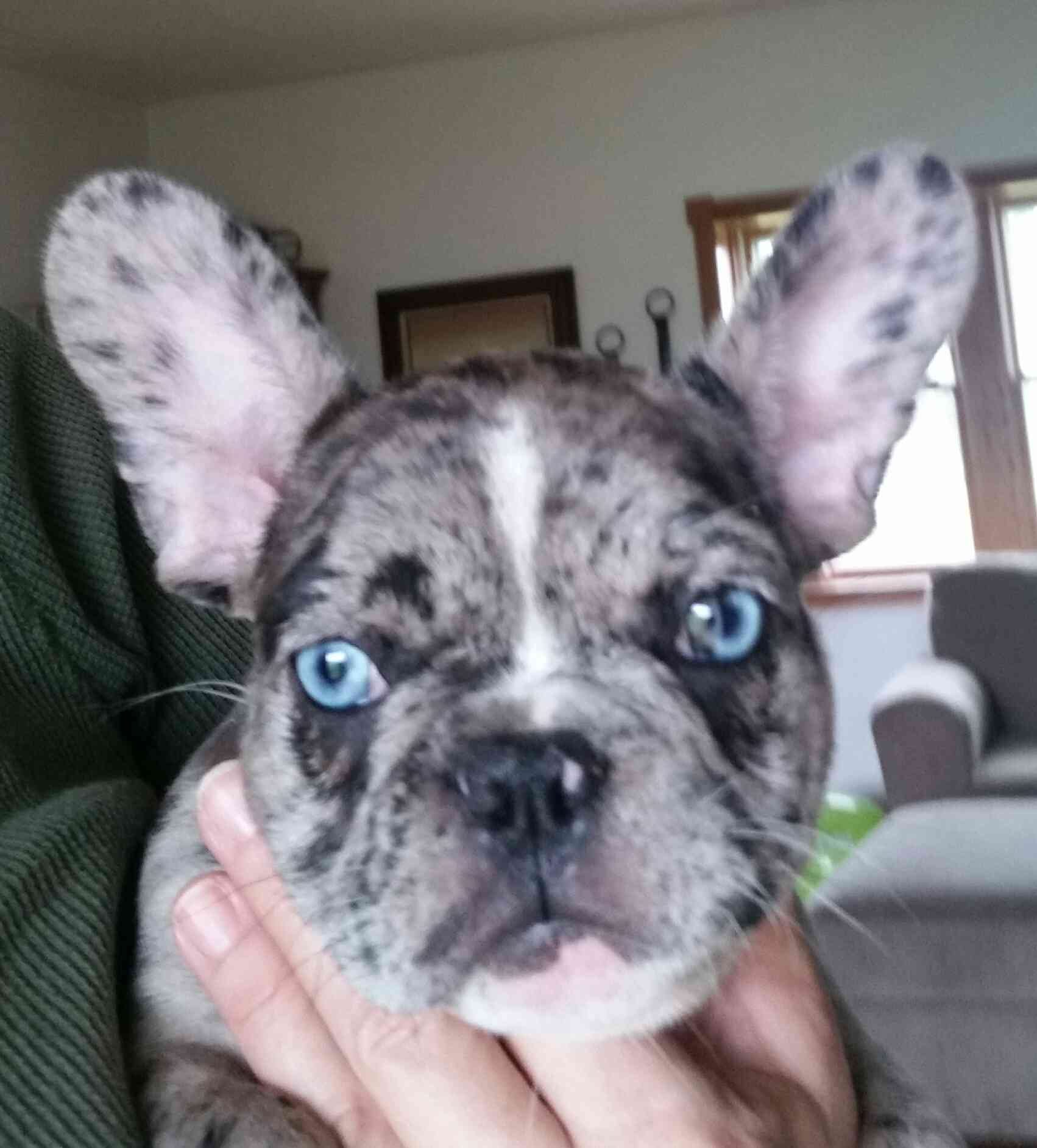 Healthy French Bulldogs That Are Owned By Us At Blue Wave French